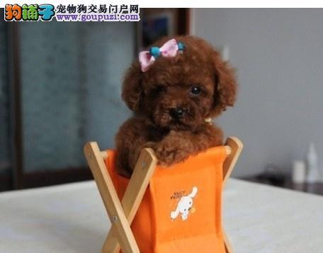 哪里有卖茶杯犬 茶杯犬 健康纯种的茶杯狗狗
