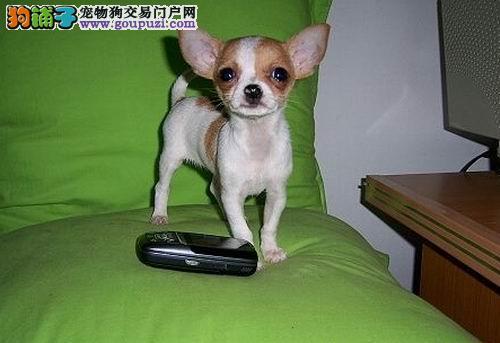 哪里有卖吉娃娃幼犬吉娃娃犬 健康纯种的吉娃娃狗狗
