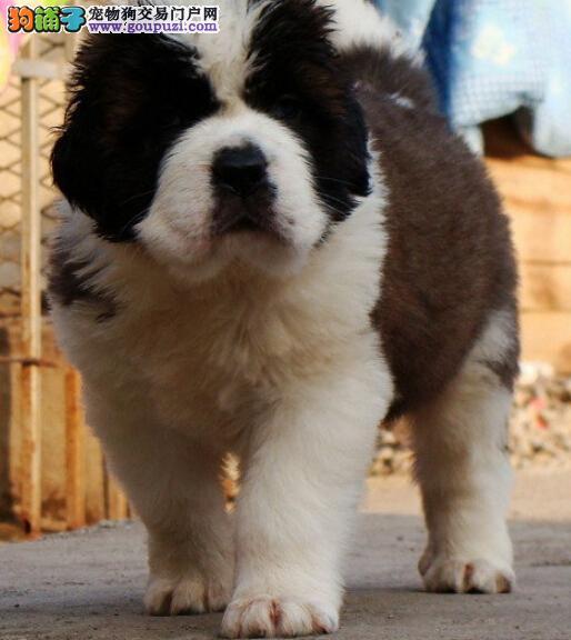 专业基地售大骨架圣伯纳幼犬包健康纯种三个月包换