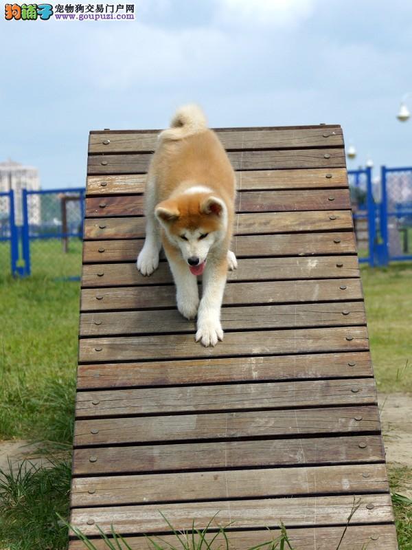 哪里有卖秋田幼犬 秋田犬 健康纯种的秋田狗狗