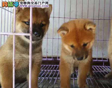 哪里有卖柴犬幼犬 柴犬 健康纯种的柴犬狗狗