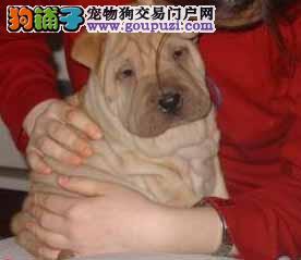 哪里有卖沙皮幼犬 沙皮毛 健康纯种的沙皮狗狗