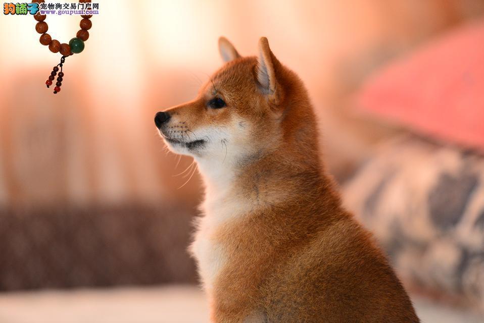 精品柴犬宝宝带纸 包健康 包纯种 待售