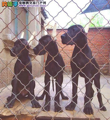 大丹犬出售 保健康保纯种