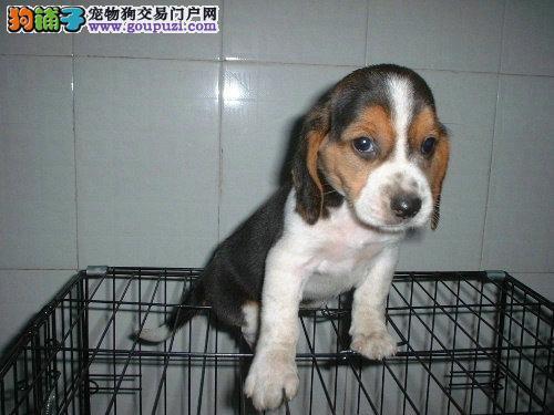 比格犬出售 品质优有保障