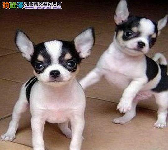 精品吉娃娃幼犬,外星脸型的,苹果头型的,袖珍体的均