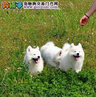 出售微笑天使萨摩耶 纯种萨摩幼犬销售