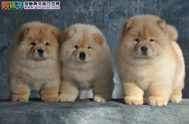 专业基地繁殖 狗场直销 超可爱保健康松狮宝宝出售