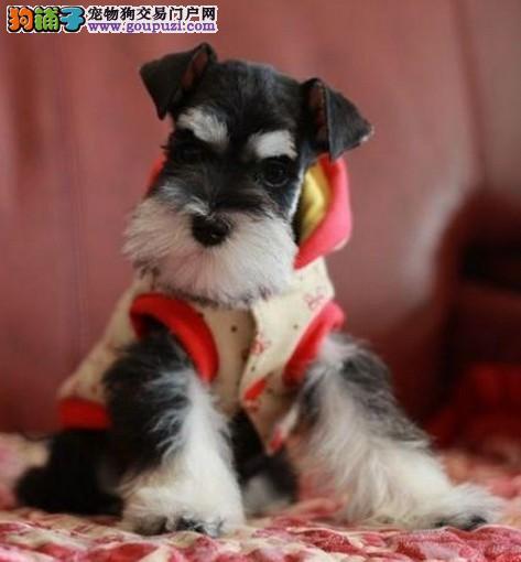 赛级雪纳瑞养殖基地专业繁殖高品质雪纳瑞幼犬待售