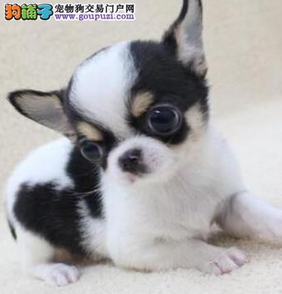AKC联保免费服务犬业 出售高品质大眼吉娃娃幼犬