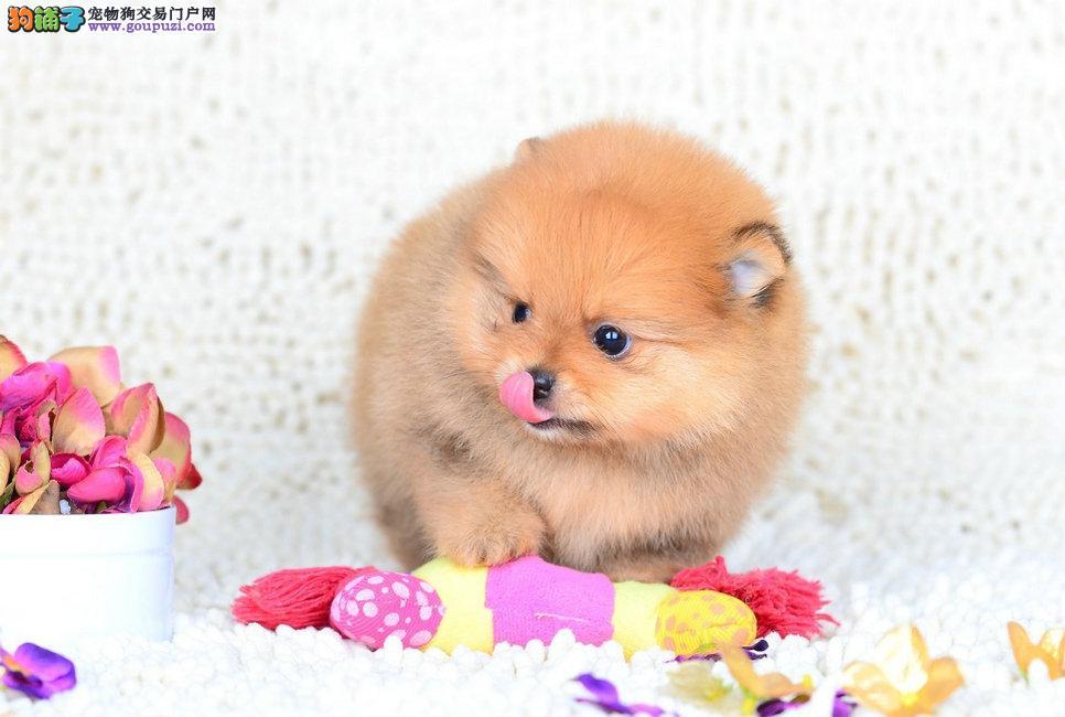 出售博美幼犬哈多利版球体纯种 健康质保