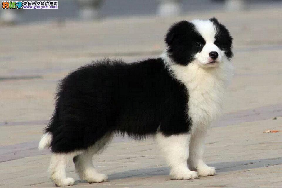 出售纯种高品质边境兰牧羊犬 签订购权协议 犬舍直销