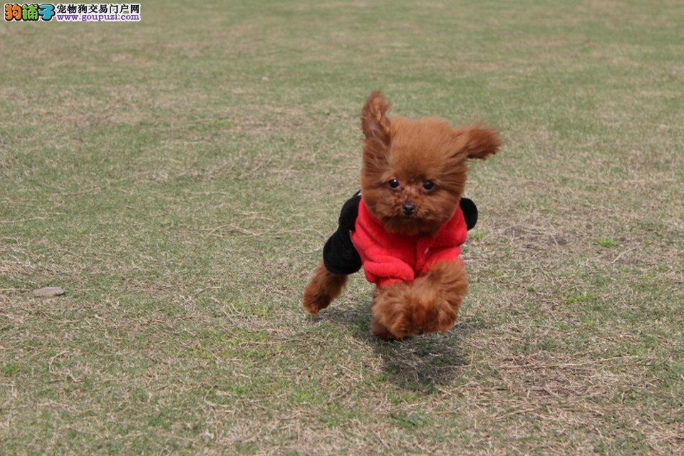 上海哪里有卖贵宾犬 贵宾犬多少钱 贵宾区多大的