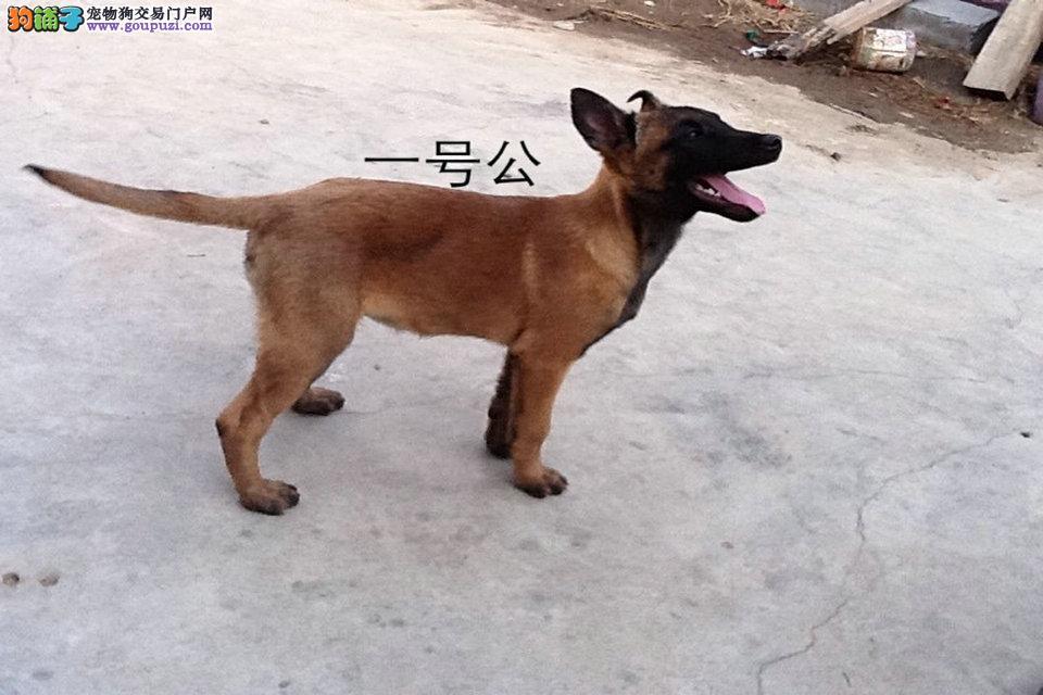 双血统黑马幼犬,性格火爆,可训练,签协议,保健康