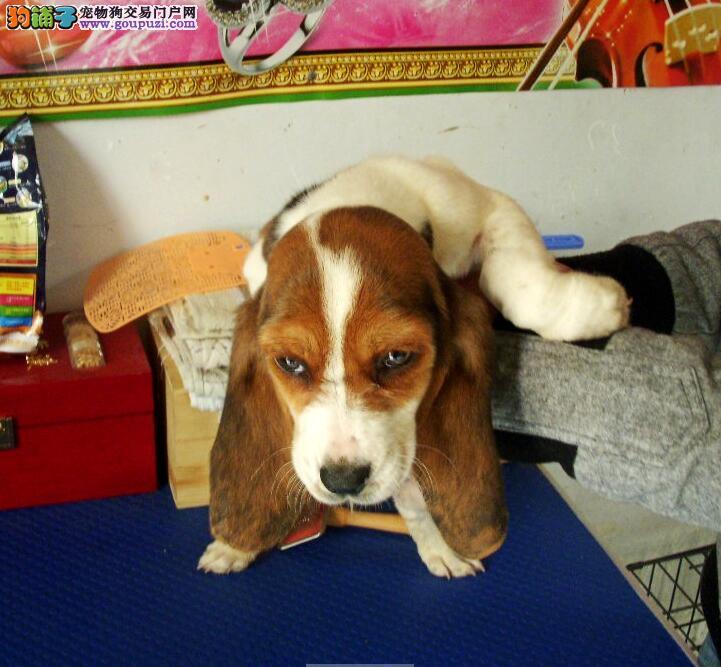 极品巴吉度宝宝 双血统纯种巴吉度幼犬正规犬舍繁殖