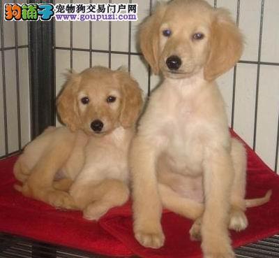 上海最大的阿富汗养殖基地出售高品质阿富汗猎犬