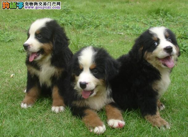 高品质伯恩山幼犬出售 疫苗做完 质量三包 低价出售