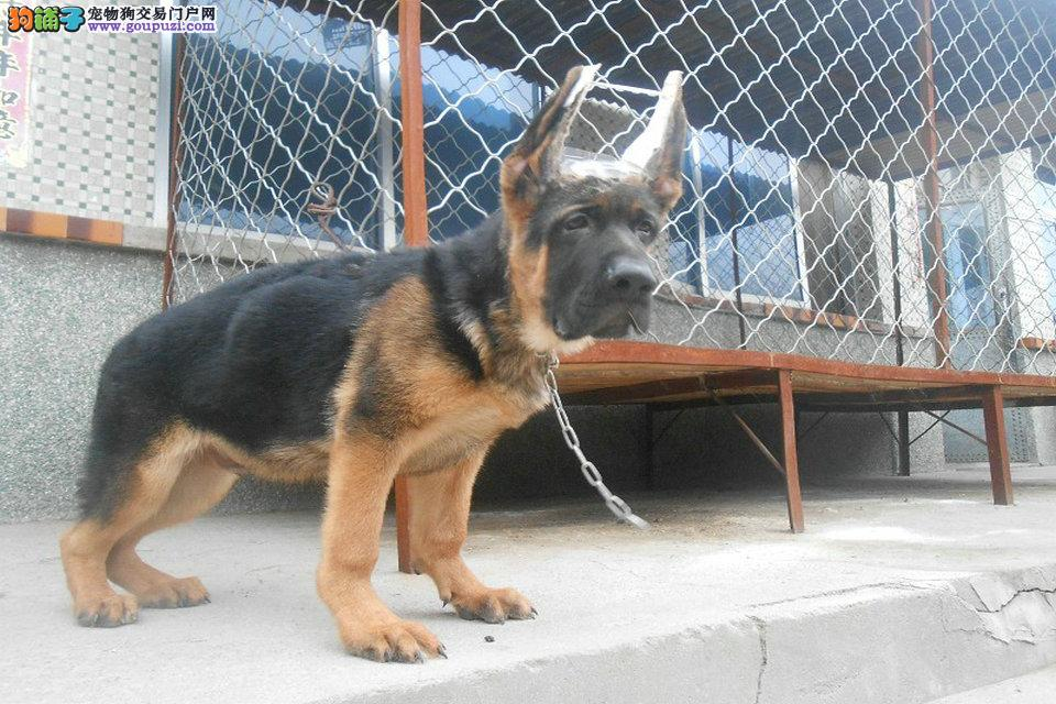 上海哪里有卖狼狗狼狗多少钱