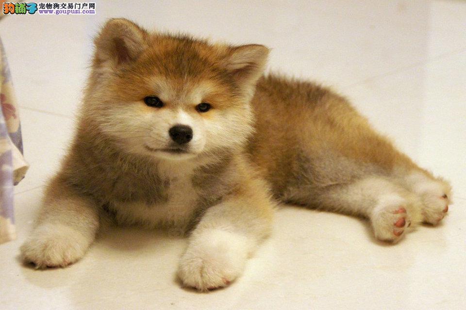 常年出售 精品秋田幼犬 品相超好 包纯种疫苗齐全