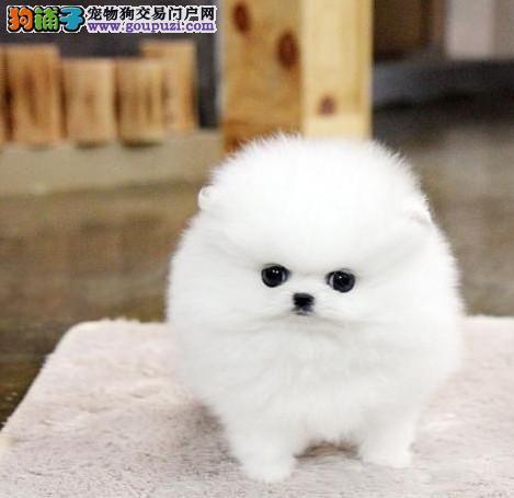 血统纯正白色哈多利博美犬品相好、骨骼小