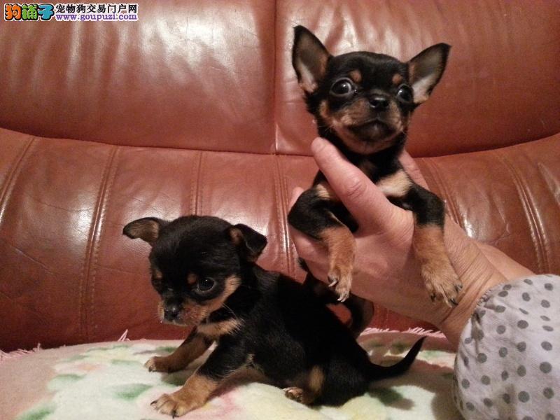 出售 吉娃娃幼犬 ,茶杯娃娃苹果头,可上门签协