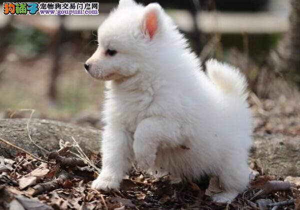 纯种银狐幼犬,签合同包健康包纯种包养活