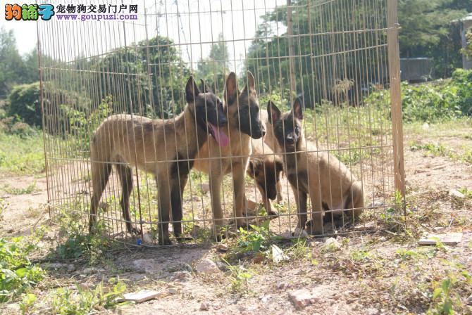 双血统黑马幼犬,性格火爆,可训练,签协议,保健
