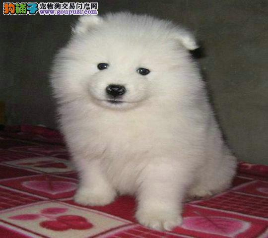 繁殖洁白微笑天使纯种 萨摩耶幼犬 出售