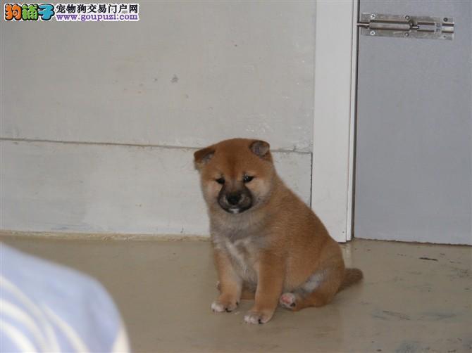 东方柴庄 专业繁殖赛级柴犬幼犬