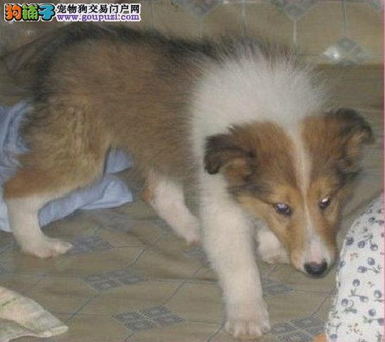 超级漂亮的纯血统苏格兰牧羊犬宝宝出售