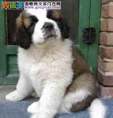 大骨架圣伯纳犬宝宝出售,签协议包纯血统、包健康