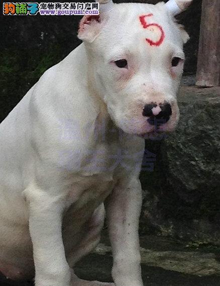 杜高犬宝宝低价出售,签协议、包纯种、包健康