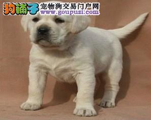 大头高品质 拉布拉多幼犬出售健康纯正好血统多只挑选