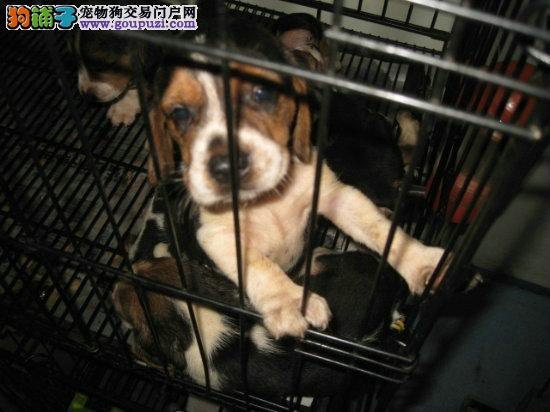 比格犬宝宝出售中,签协议包纯种、包健康