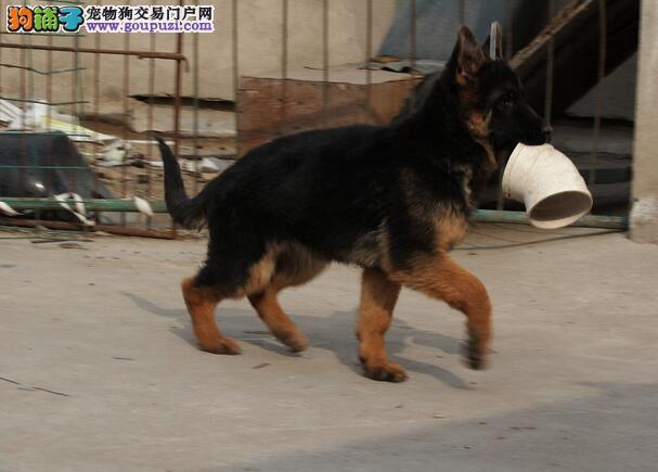 健壮大骨架狼狗出售,签协议包纯种、包健康