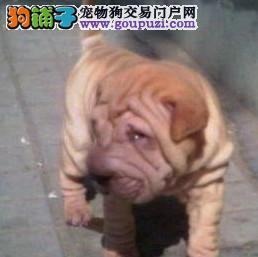 沙皮狗宝宝出售中,签协议包纯种包健康