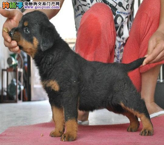 顶级防暴之王,罗威纳,霸气十足,欢迎上门看狗狗!!
