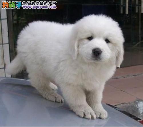 专业繁殖精品大白熊幼犬、保纯种保健康、可见狗父母