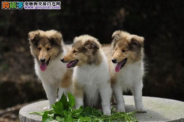 CKU认证犬舍出售纯种苏格兰牧羊犬/幼犬,健康质保