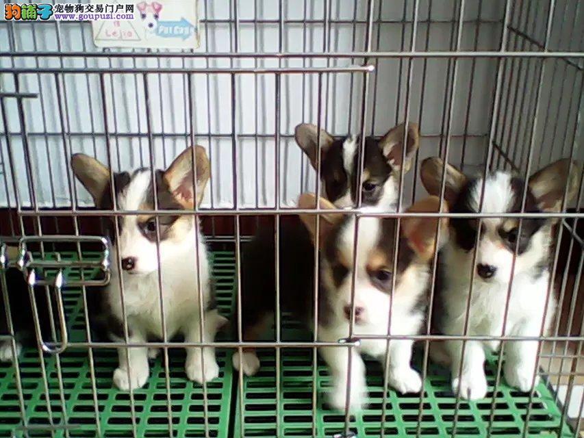 出售家养纯种柯基活泼可爱人见人爱可上门看狗