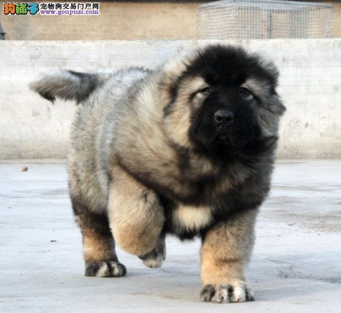 CKU认证犬业专业繁殖高加索宝宝 绝对信誉