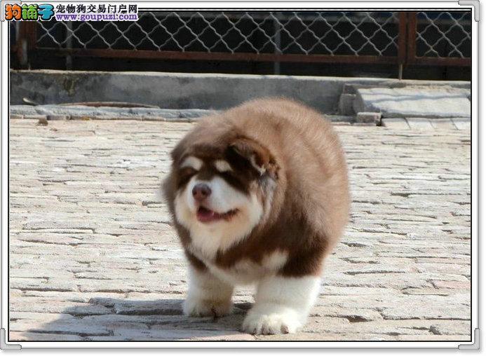售精品巨型阿拉斯加幼犬红色、黑色、可选包90天退换