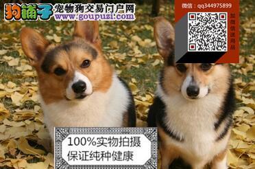 纯种柯基犬 欢迎上门 送全狗用品 健康签协议