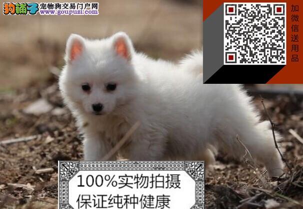 纯种的日本尖嘴犬(银狐犬)出售.包健康,可上门