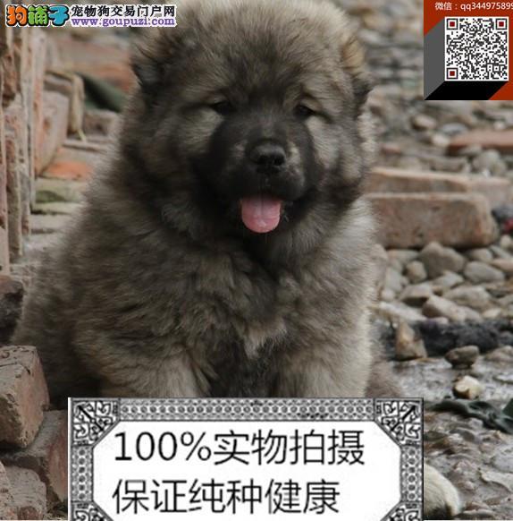 犬场直销 纯种的猛犬高加索幼犬 上门选购 血统纯正