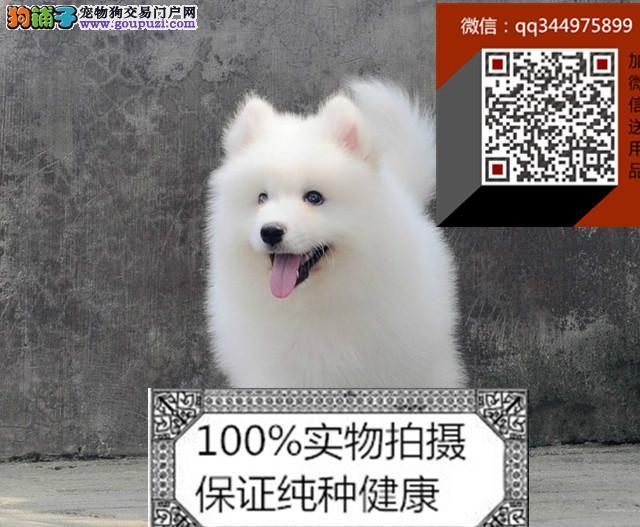 出售繁殖高品质纯种萨摩幼犬 雪白无垠 包健康纯种
