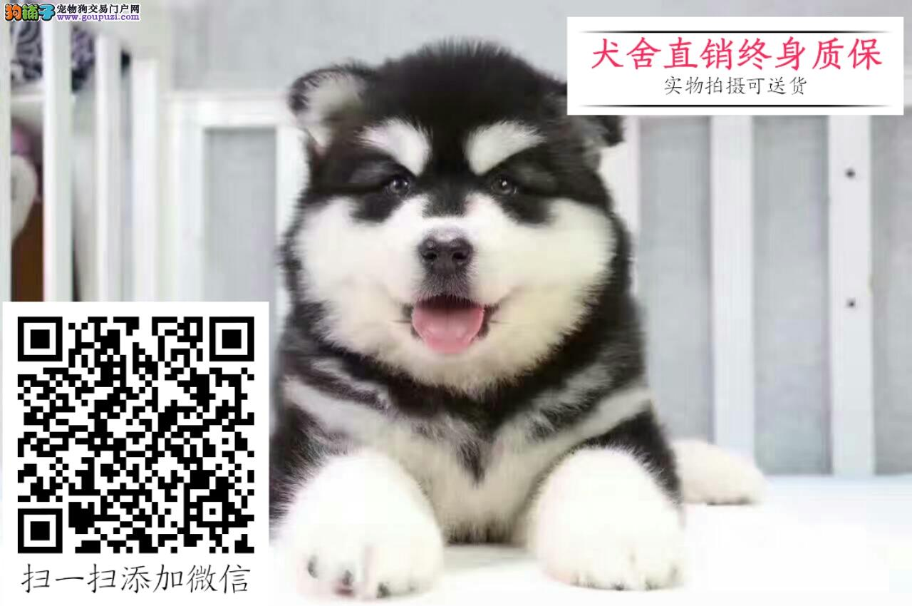出售纯种阿拉斯加幼犬 保证纯种健康 可上门选购