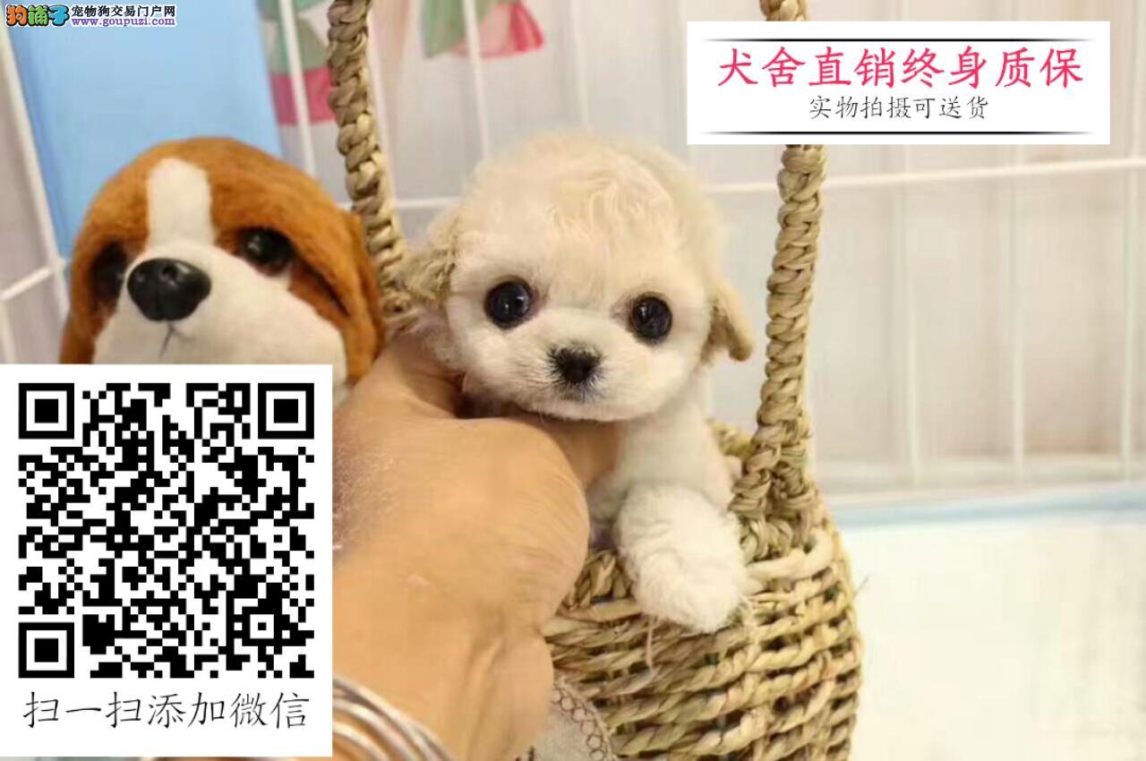 出售限量珍藏韩国血统玩具迷你贵宾 品质健康保证