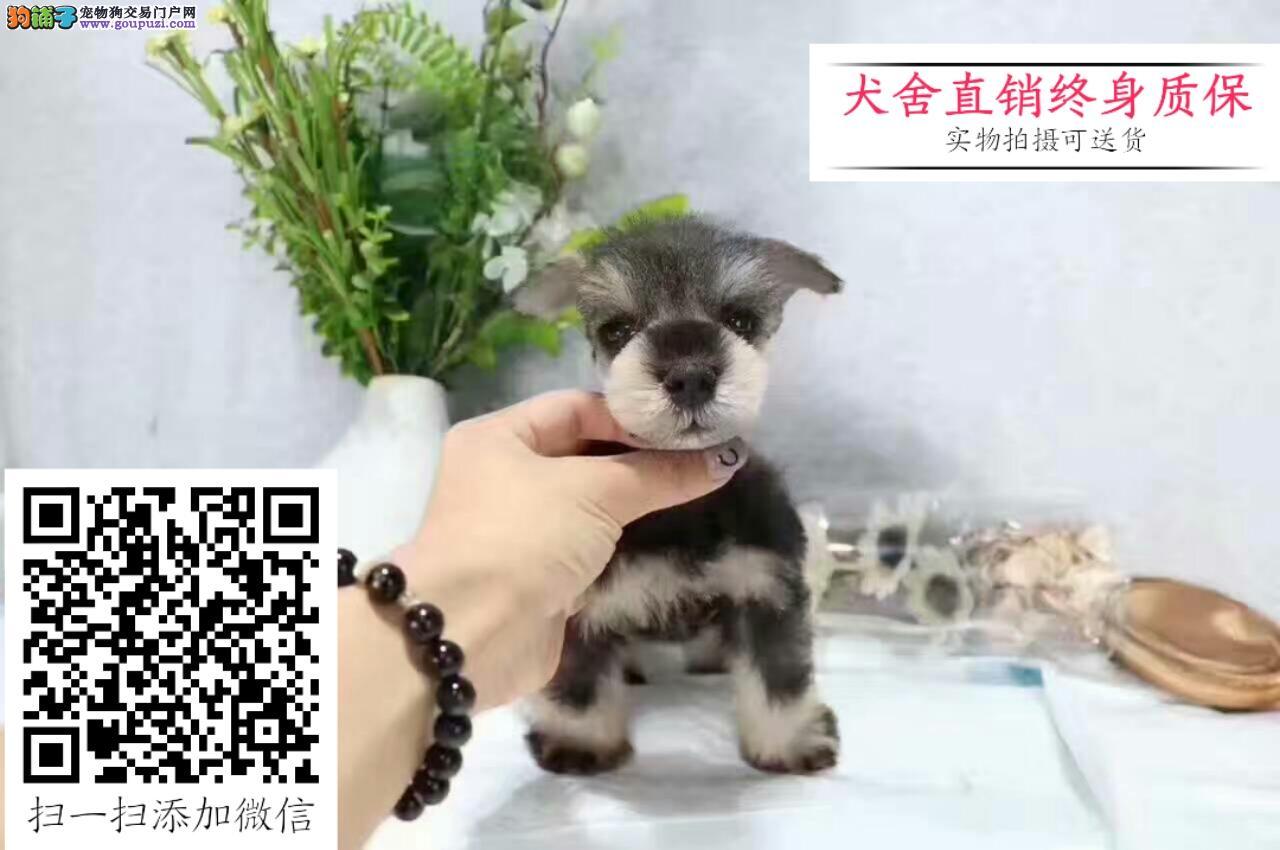 出售迷你雪纳瑞幼犬 品质保证信誉第一 实体店选