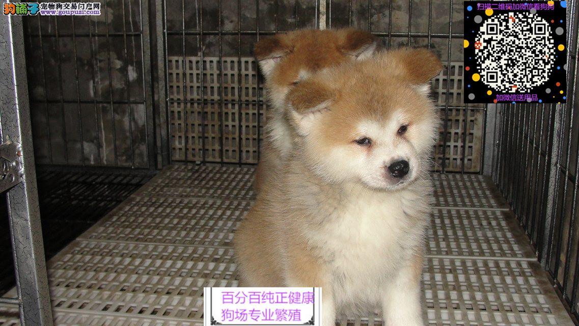 纯种日本柴犬,精品血统柴犬繁育,优质服务,终身售后